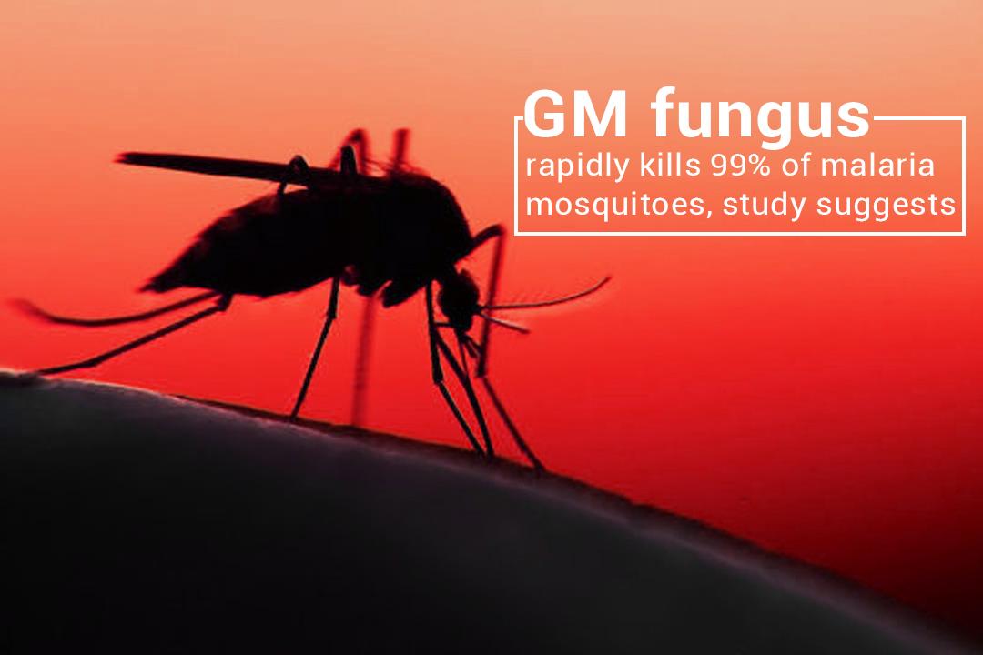 GM Fungus Instantly kills 99 percent of Malaria Mosquitos